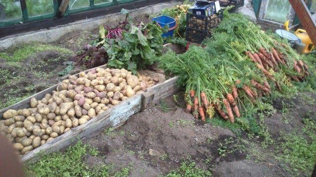Морковь и другие овощи спасаются от дождливых осенних дней