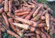 Морковь, готовая к закладке на хранение