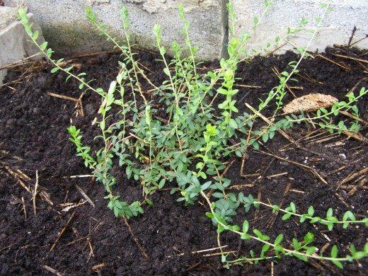 Куст клюквы высаженный в сад