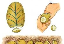 Картофель: делим клубень правильно