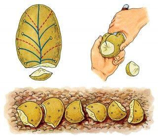 Схема деления клубня семенного картофеля