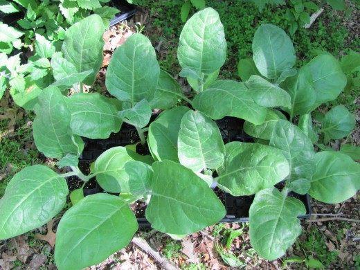 Обыкновенная махорка, или Табак деревенский (Nicotiana rustica)