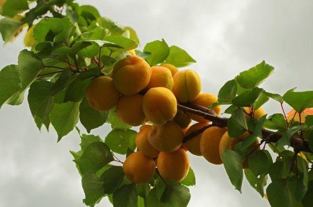 "Плоды абрикоса на ветке, сорт ""Мускат"""
