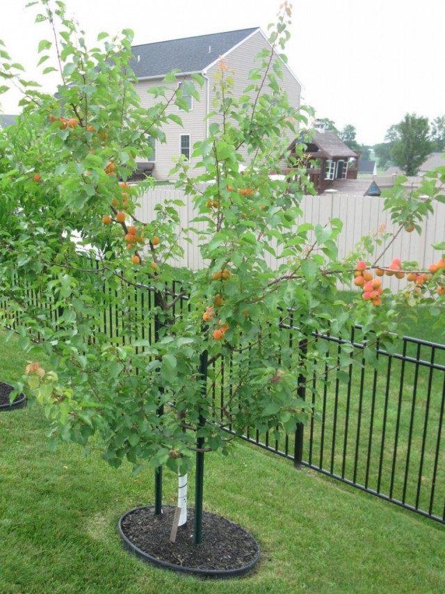 """Молодое деревце абрикоса, сорт """"Мурпарк"""""""