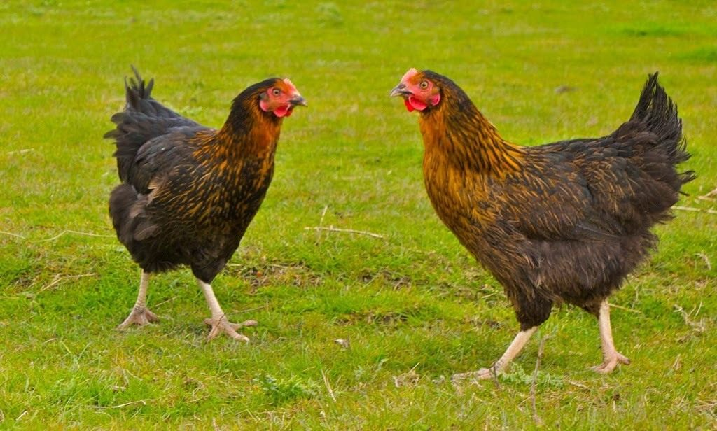 Black-Rock-Chickens