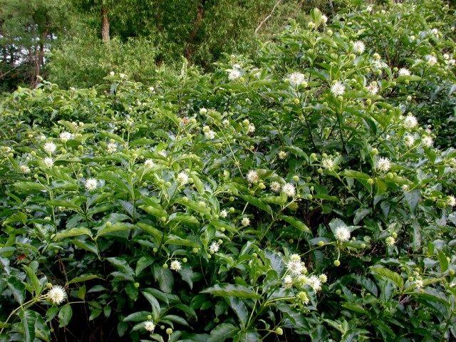 Цветоголовник западный (Cephalanthus occidentalis)