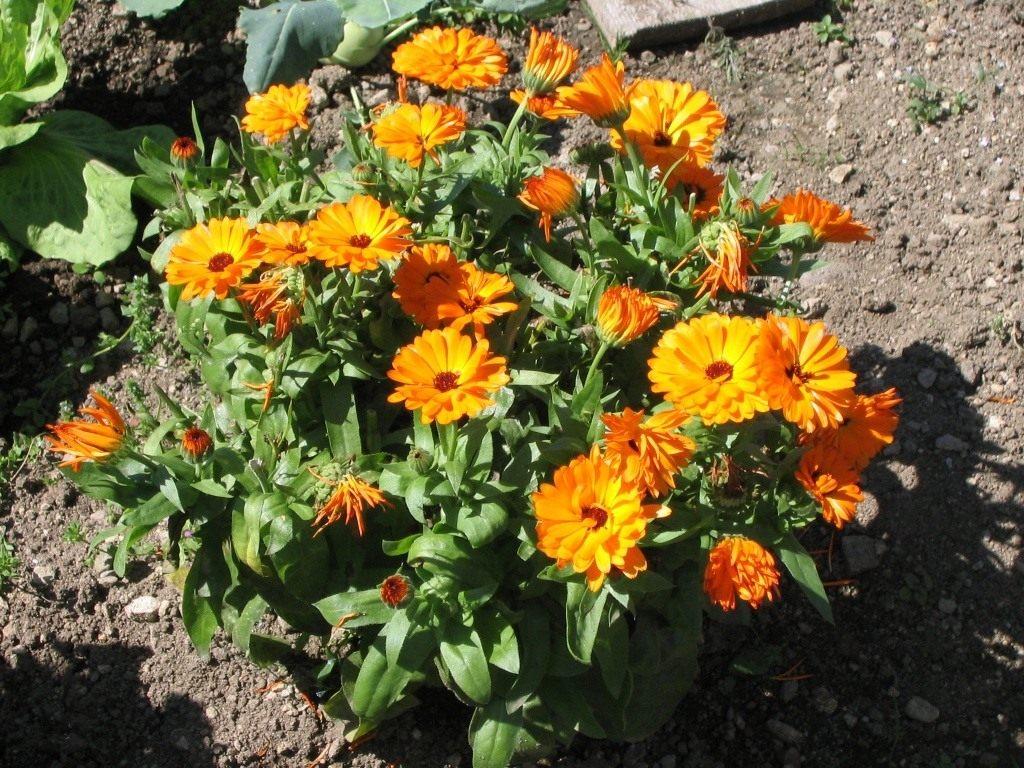 Цветок календула посадка и уход
