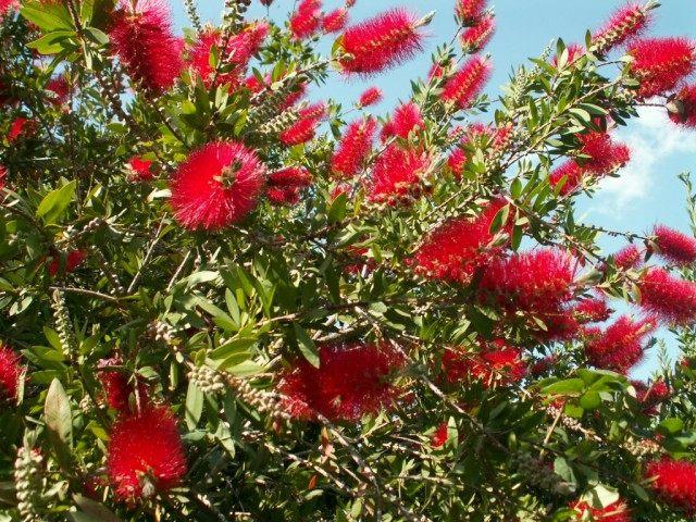 Цветение куста Каллистемона