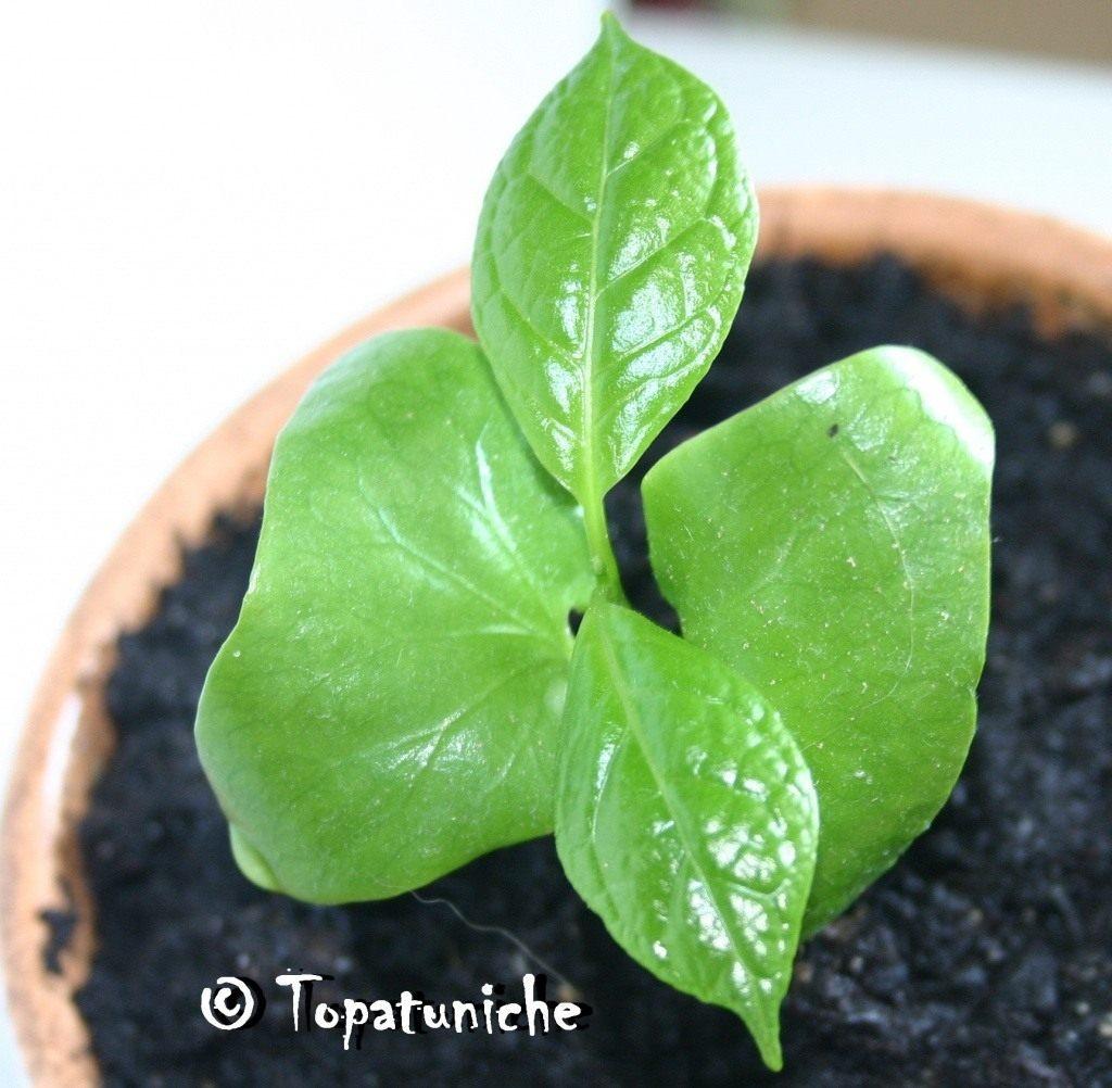 Calycanthus-chinensis-2