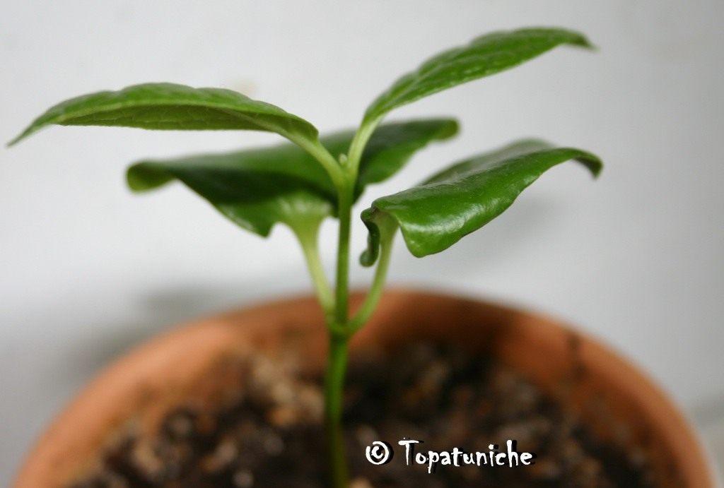 Calycanthus-chinensis-3