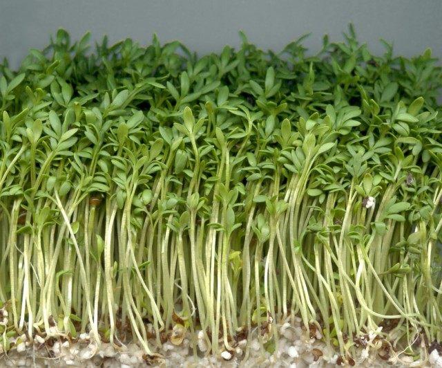 Клоповник посевной, или Кресс-салат, молодые растения