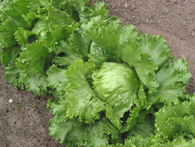 Салат кочанный «Айсберг»