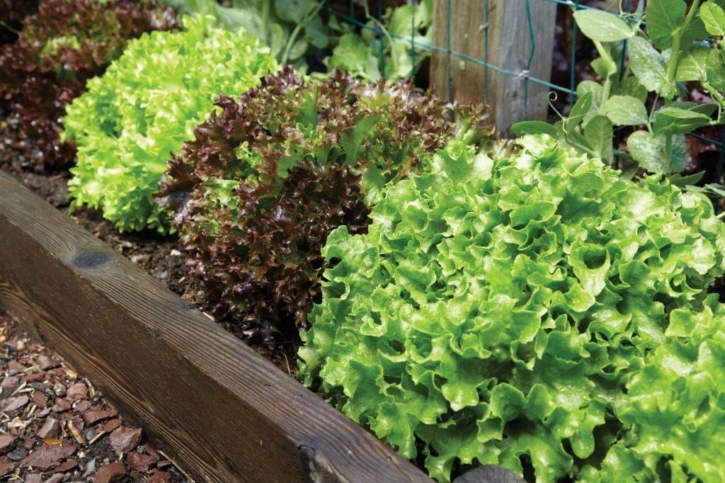 скороспелые сорта салата листового для теплиц