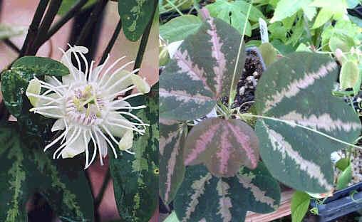 Passiflora_trifasciata2