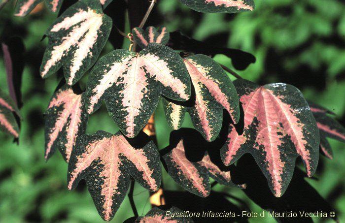 Passiflora_trifasciata3