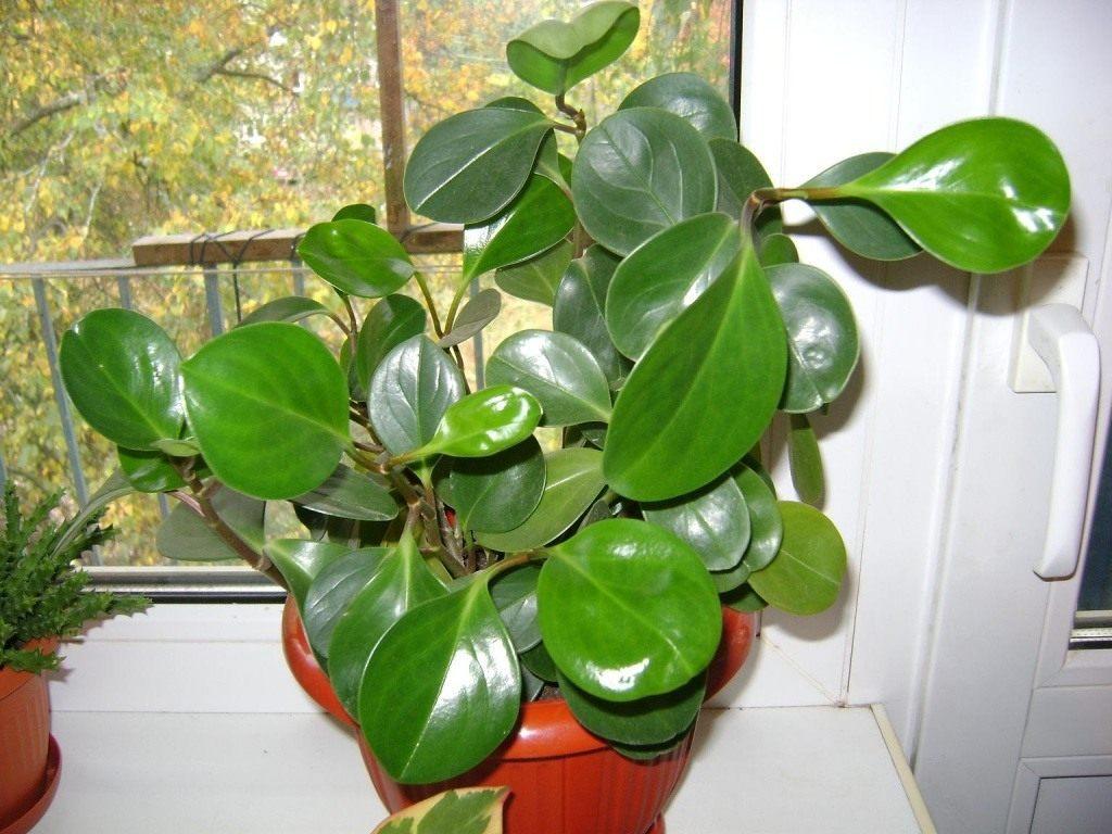 Peperomia-obtusifolia