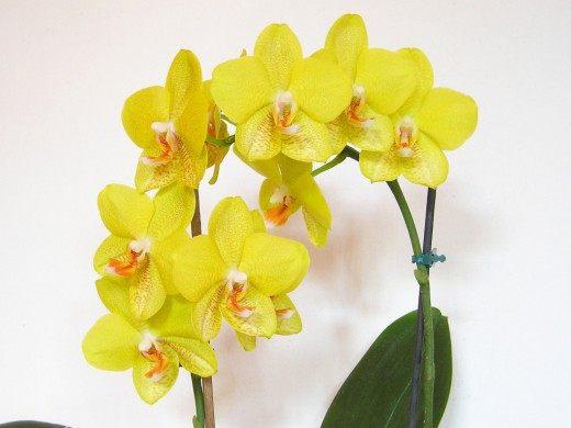 Орхидея фаленопсис жёлтая