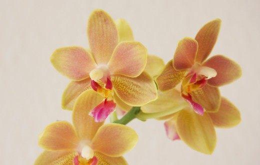Орхидея фаленопсис Tzu Chiang Balm