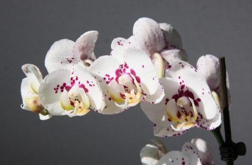 Орхидея фаленопсис Hybride wei? gefleckt