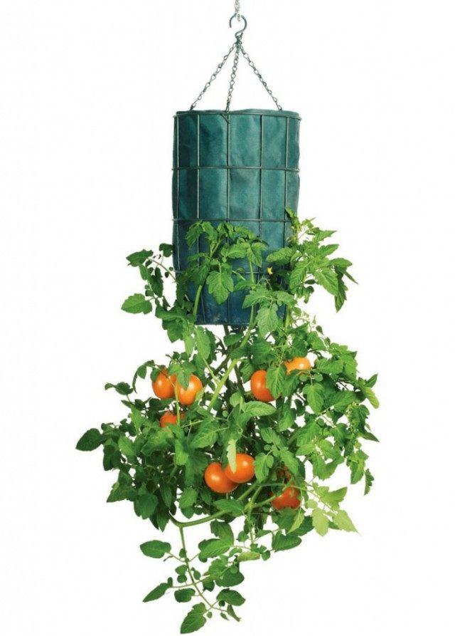 Выращивание томата вверх ногами