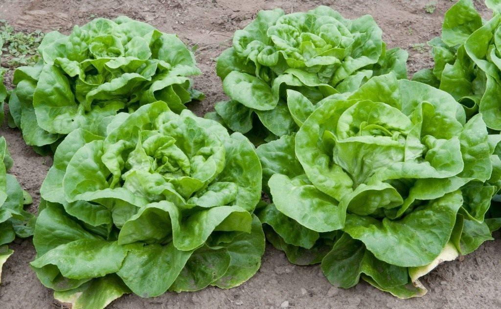 Когда сажать салат кочанный
