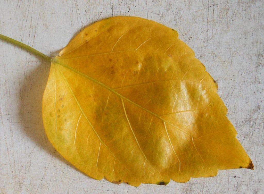 list-gibiskusa