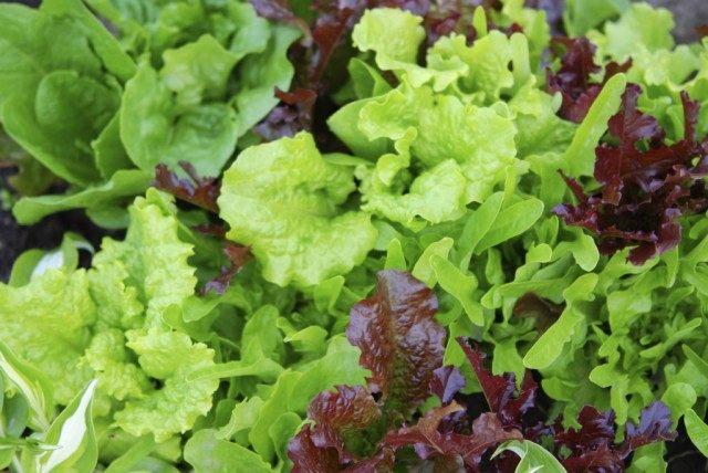 Смесь салата латук