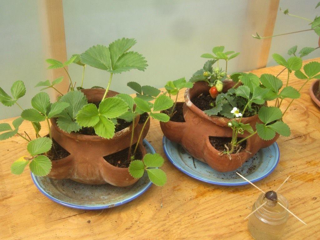 Сорта клубники для выращивания в горшках