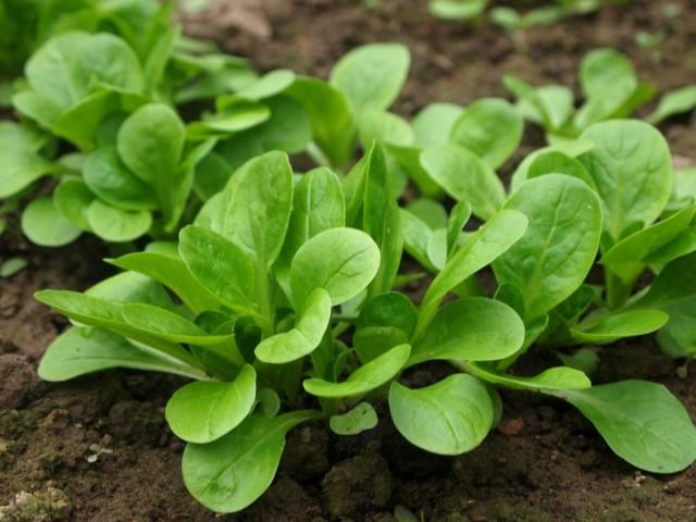 Валерианелла колосковая, или Валерианелла огородная, или Полевой салат