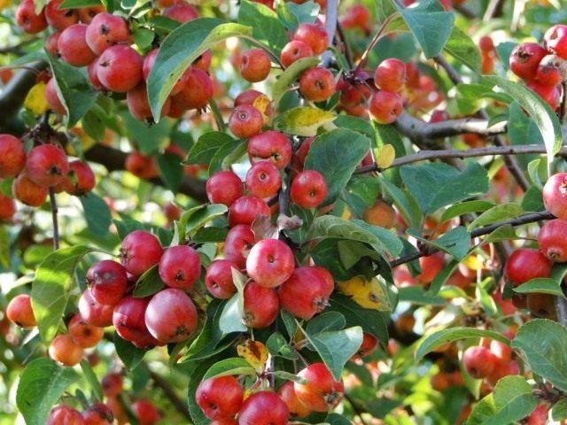 Плоды яблони декоративной