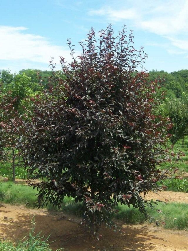 Декоративная яблоня с красными листьями 'Royal Raindrops'