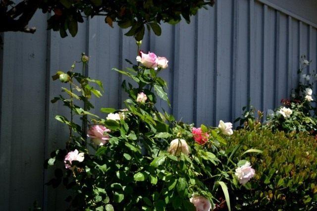 Уделяем внимание розам