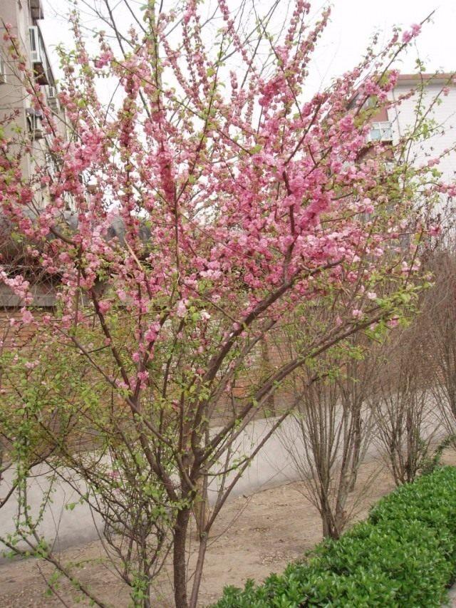Персиковое дерево в цвету