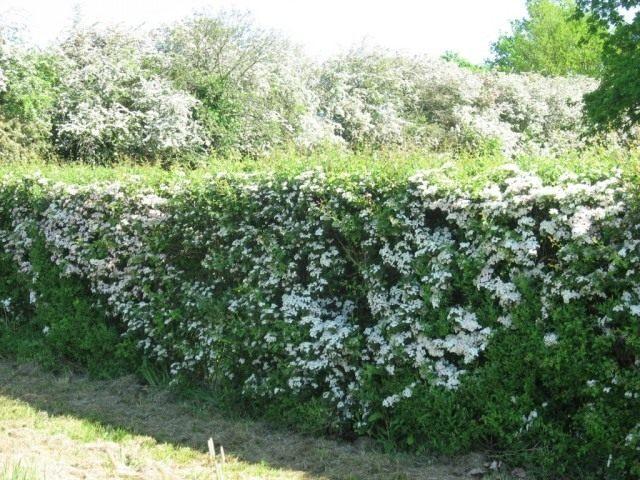 Живая изгородь из боярышника во время цветения