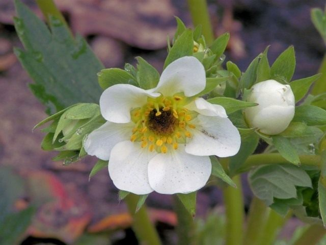 Поврежденный морозом цветок земляники садовой