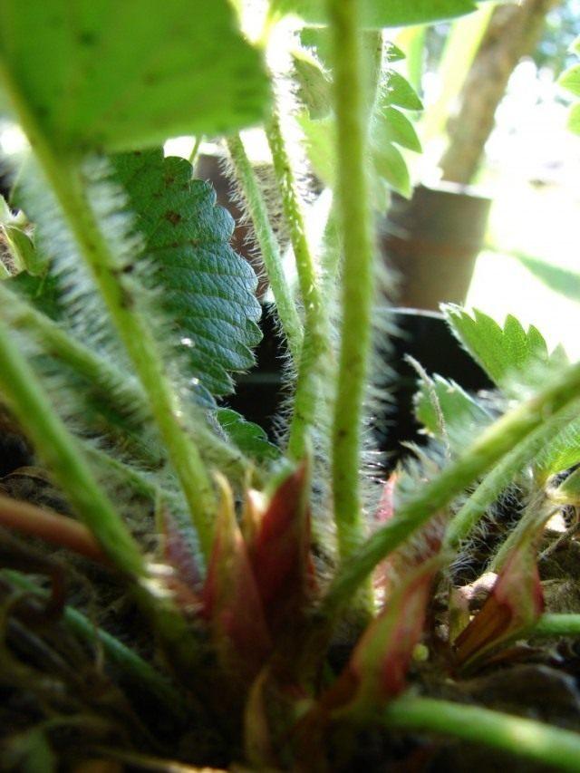 Розетка земляники садовой