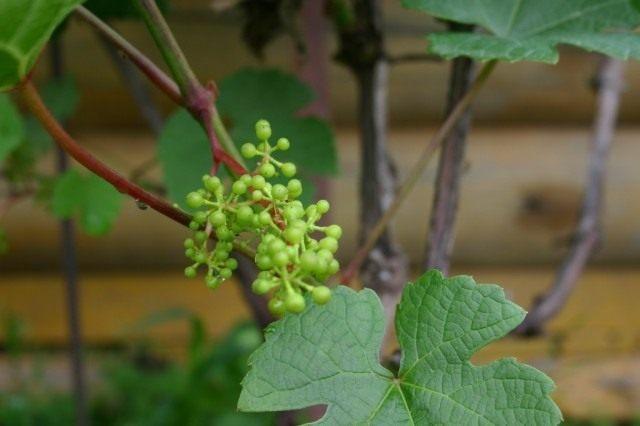 Зявязи винограда