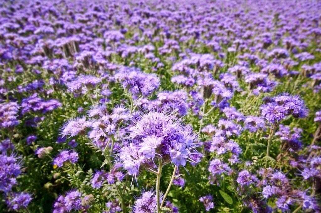 Фацелия — сидерат, медонос, украшение ...: www.botanichka.ru/blog/2015/06/07/fatseliya-siderat-medonos...