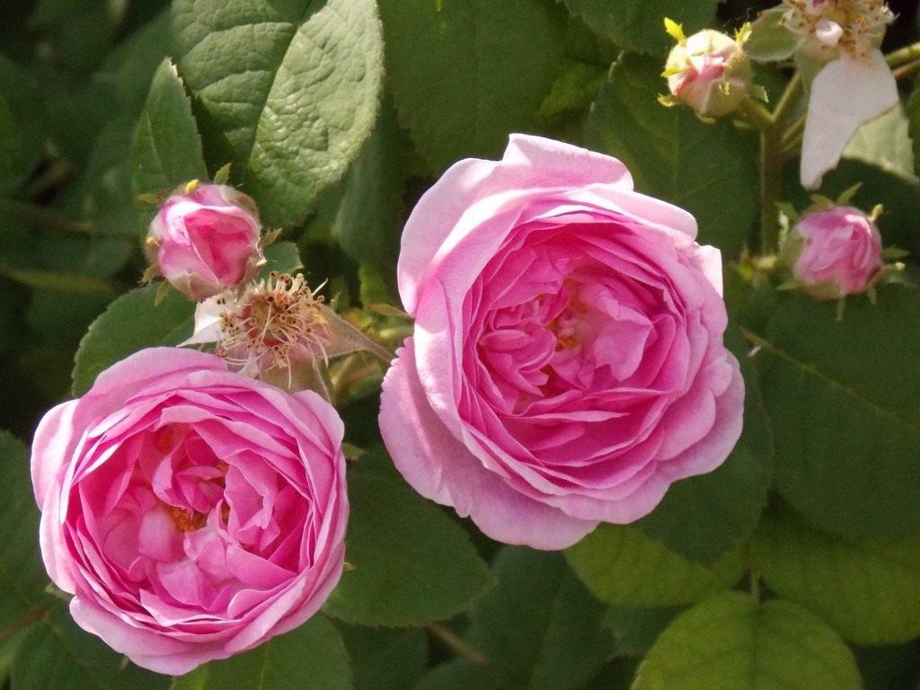чайна роза