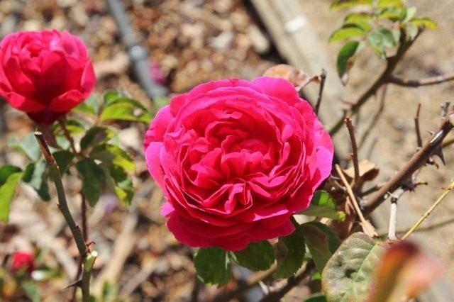 Кустовая роза «Отелло»