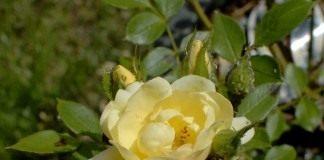 Бутоны розы пораженные тлёй