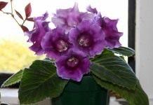 Красавица глоксиния: размножение семенами и листом