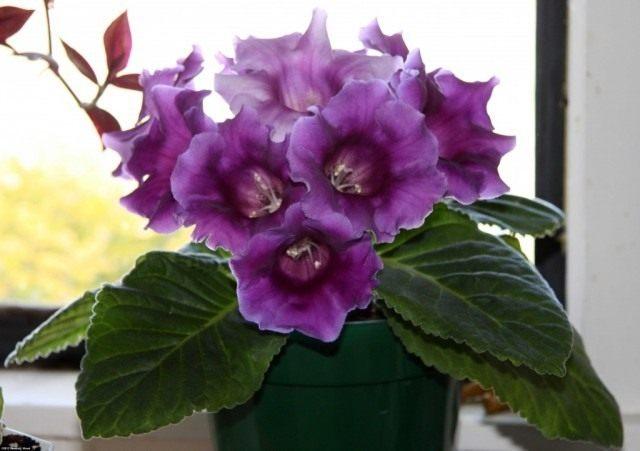 Синнингия красивая (Sinningia speciosa), или Глоксиния гибридная