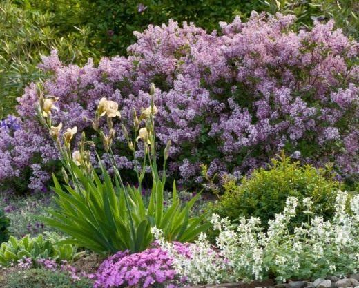 Живая изгородь из цветущей сирени