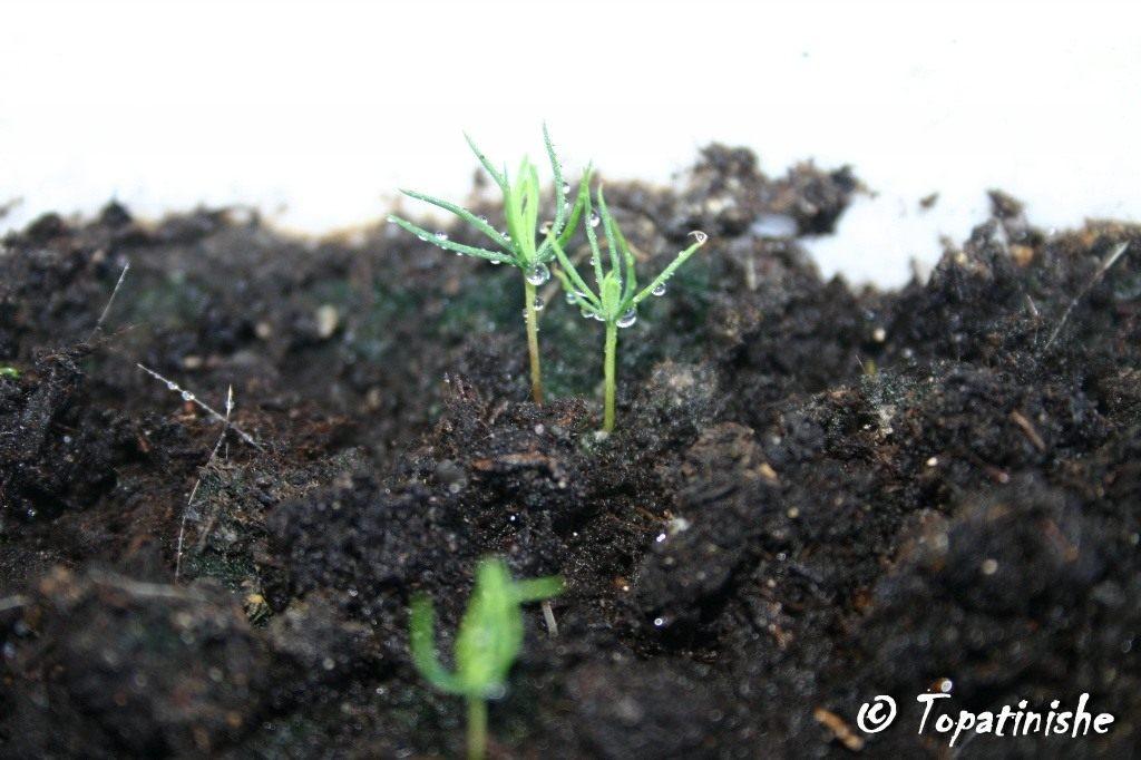 seedling-spruce