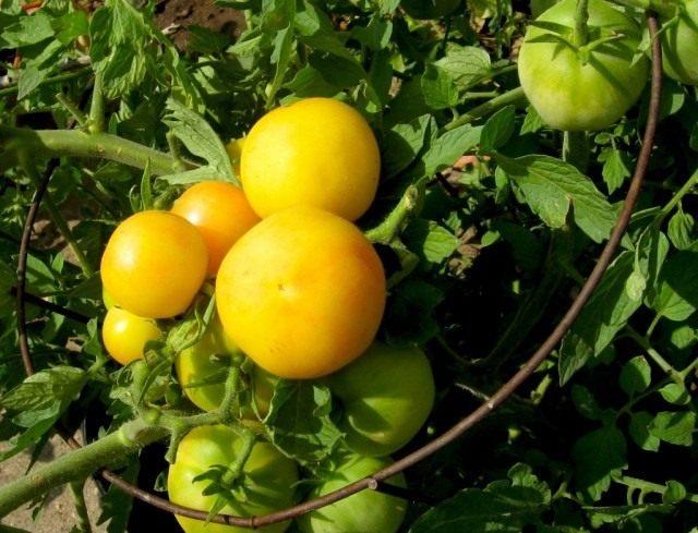 Жёлтый томат