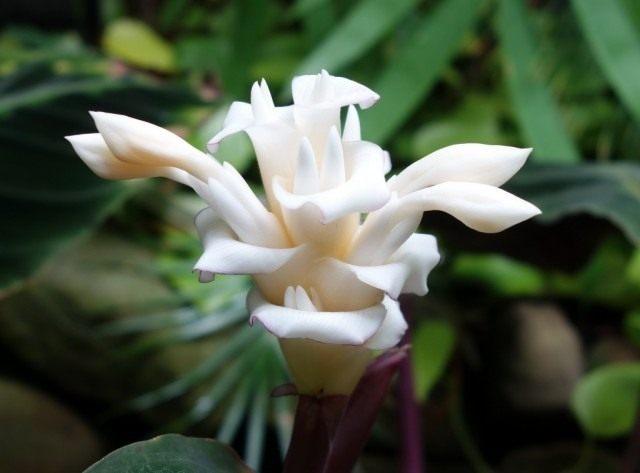 Калатея Варшевича (Calathea warscewiczii)