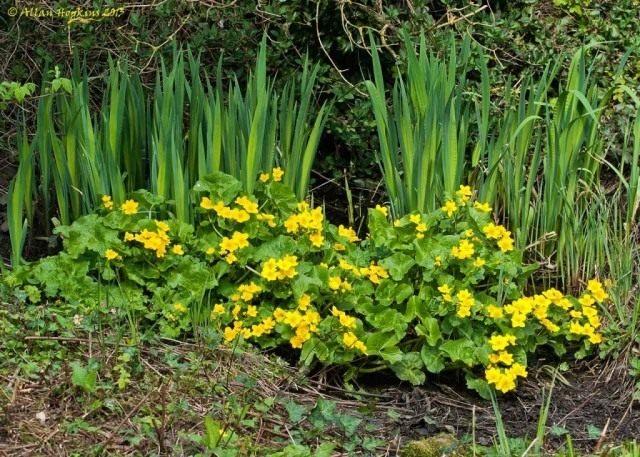Калужница болотная (Caltha palustris)