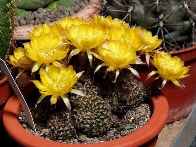 Эхинопсис Тигеля, или Лобивия Тигеля (лат. Echinopsis tiegeliana)
