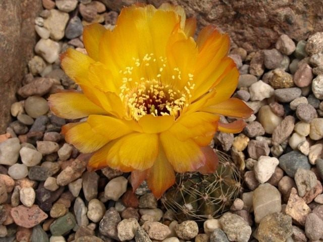 Элинопсис Хрисанта, или Лобивия Хрисанта (лат. Echinopsis chrysantha)